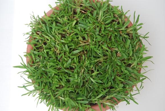类地毯草 carpetgrass